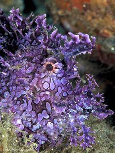 """Purple Scorpionfish Photo by Marco Maccarelli"""""""