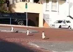 A group of African penguins recently went for a 'stroll' down the empty streets of Simon's Town near Cape Town. African Penguin, Cape Town, Penguins, Empty, Group, Lifestyle, Watch, Street, Clock