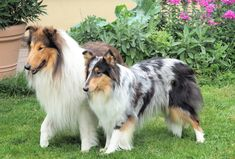 Beautiful pair of Scottish Collies Scotch Collie, Sheep Dogs, Rough Collie, Sheltie, Livestock, Corgi, Puppies, Animals, Beautiful