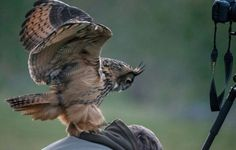 The Famous Owl Loves to Land on People's Heads in the Dutch Town 4