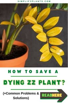 ZZ plants are sturdy plants that can survive through the worst living conditions. There have been times when I left for vacation, and My ZZ plant was just fine even after a month. Today I am going to tell all of my secrets to you all. #simplifyplants #houseplant #houseplantindoor #houseplantsindoorairpurifying #lowlightplants #zzplantcare #zamioculcaszamiifolia Zz Plant Care, Low Light Plants, Problem And Solution, Growing Herbs, Houseplant, Low Lights, Garden Inspiration, Succulents, Conditioner