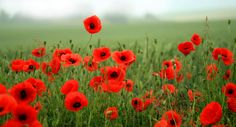 Poppies are a symbol of #remembrance of #soldiers who died during #WWI