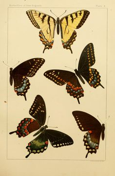 Butterflies. The butterflies of the eastern United States and Canada v.3 Cambridge :The author,1889. Biodiversitylibrary. Biodivlibrary. BHL. Biodiversity Heritage Library