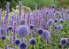 Anisisop Agastache 'Blue Fortune' här med bolltistel. Snyggt