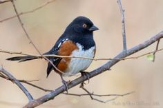 This Spotted Towhee is one of the guest stars on my blog about winter birds in the Pacific Northwest.  More at http://www.SongbirdPhoto.com/wordpress