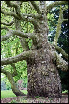 Plataan - Kalheupinkpark in Oldenzaal Weird Trees, Unique Trees, Old Trees, Tree Trunks, Tree Sculpture, Big Tree, Tree Forest, Growing Tree, Tree Art
