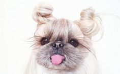 Kuma, a Japanese hair style fashionista, who is a lucky dog. Her owner Yuki likes to do some special fashion hairstyles for her.