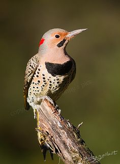 shaft-tailed flicker - one of our backyard feeder favorites