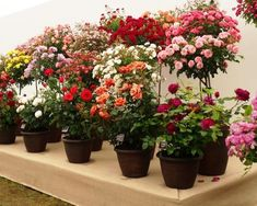 Style Roses were awarded a Silver-Gilt Medal for their exhibit, inside The Festival of Roses Marquee, at the RHS Hampton Court Palace Flower Show Container Plants, Container Gardening, Rhs Hampton Court, Mountain Rose, Rose Bush, Flower Show, Love Flowers, Beautiful Roses, Palace