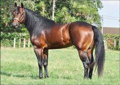 Question Walker Stallion Quarter-Horse 2008