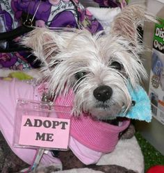MONA is an adoptable Chinese Crested Dog searching for a forever family near Fort Lauderdale, FL. Use Petfinder to find adoptable pets in your area.