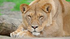 beautiful lioness picture