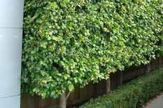 Lilly Pilly with small boxus hedge at base.