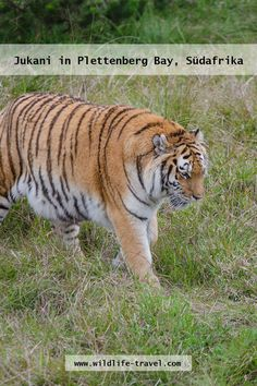 Siberian tiger in the big cat sanctuary Jukani close to Plettenberg Bay along the Garden Route, South Africa Serval, Wild Life, Panthera Tigris Altaica, Cat Hug, Cheetahs, Siberian Tiger, Wildlife Conservation, Wildlife Photography, Big Cats
