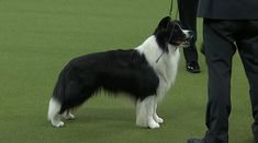 Meet Slick the Border Collie from Schwenksville, PA.  He's the winner of the Herding Group at the 2018 Westminster Dog Show!
