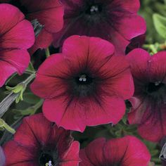 Easy Wave Burgundy Velour is a trailing petunia from seed with deep velvety dark red blooms. It flowers nonstop all summer on mounded, spreading plants that are ideal for baskets and windowboxes.
