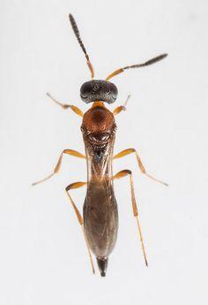 Wasp - Calliscelio
