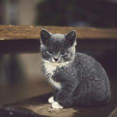 1000 images about kittens on pinterest gray kitten