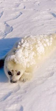 so cute seal baby ( robbe )  #by NDR Presse und Information,NDR/Thorsten Milse --- http://my.tvspielfilm.de/tv-programm/sendung/das-abenteuer-der-eisbaerenkinder,58458b3cf033af3525e7019a.html