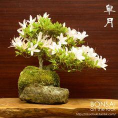 皐月の石付盆栽Satsuki azalea bonsai on a rock2015.5.30 撮影bonsai on the rock @BASEbonsai on the rock @Zazzle