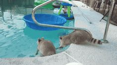 gifsboom:  Video:Overprotective Raccoon Rescues Brother from...