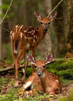 is filled with hundreds upon hundreds of Deer… . - is filled with hundreds upon hundreds of Deer… … is filled with hundreds upon hundreds of Deer… Nature Animals, Animals And Pets, Beautiful Creatures, Animals Beautiful, Whitetail Deer Pictures, Deer Family, Tier Fotos, Woodland Creatures, Cute Baby Animals