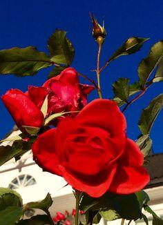 Последние розы в ноябре