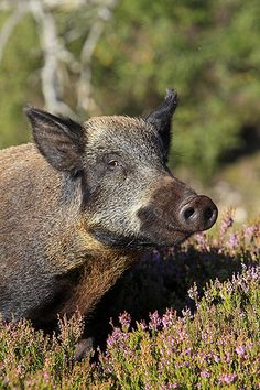 Wild Boar [Photo: Andrew Sproule /Alamy]