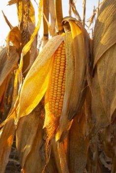 This looks like a picture of seed corn, but clearly you'd be growing sweet corn in a square foot garden. Growing corn in a square foot garden Harvest Time, Fall Harvest, Harvest Moon, Harvest Farm, Pickled Corn, Corn Stalks, Golden Harvest, Square Foot Gardening, Down On The Farm