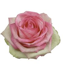 Roses: Bicolor,Cream-Pink-Green***    Variety:( Costa Rica)***  Number of Petals: (35-40)***  Vase Life: (10-12)  Days *****   Introduced 2005
