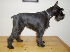 The Standard Schnauzer makes a great watch and guard dog. It is lively, but not restless if provided with enough exercise. Enthusiastic, spunky and affectionate, it tends to have the temperament of a terrier. Bright, intelligent, and playful, Standard Schnauzers need companionship and are good dogs to travel with. This breed has a high learning rate.