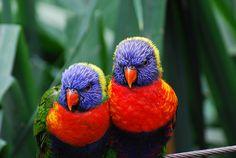 rainbow lorikeets by ungulate dave