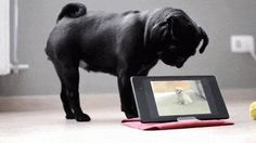 Full Video here: https://www.youtube.com/watch?v=dpssCrDOHj4  Pug Confused By Tablet, Head Tilt Ensues.