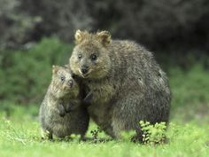Quokkas, Australia...these are quickly turning into one of my favorite critters! Look how happy they look!