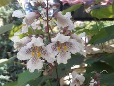 piękne, przypominające storczyki kwiaty Catalpy