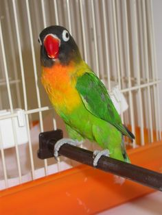 A bit like Peeteetee. African Lovebirds, Black Mask, Parakeet, Parrots, Love Birds, Cute Pictures, Peach, Photos, Animals