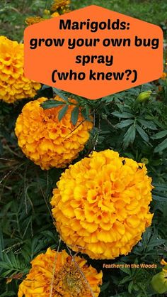 How to grow Marigolds and use them to make your own pest spray