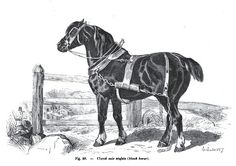 Old English Black. Eventually, the Old English Black Horse became extinct as a distinct breed and its bloodlines merged into other breeds. According to Hall and Clutton-Brock, Robert Bakewell developed the Old English Black Horse into the Black Horse of Leicestershire, a forerunner of the Shire Horse of the Midlands. The Old English Black Horse heavily influenced the bloodlines of the Clydesdale and Shire, and these breeds today have many features inherited from their ancestors.