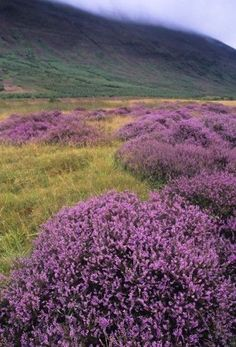 Heather in the Highlands of Scotland