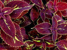 Crimson Coleus by carolinestreet