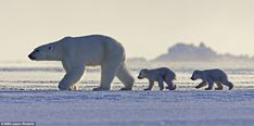 Showing them the way: A polar bear leads her cubs across the desolate landscape, perhaps in search of food