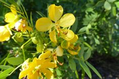 Bahama Cassia (Senna mexicana var. chapmanii) is a great native butterfly host plant for Central and South Florida.