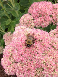 Sedums, a favorite of pollinators