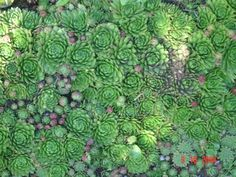 sempervivum tectorum Sprouts, Perennials, Gardens, Cottage, Vegetables, Flowers, Plants, Casa De Campo, Garden