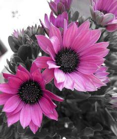 Pink daisy flowers via www.Facebook.com/InspiringQuotesWithPennyLee
