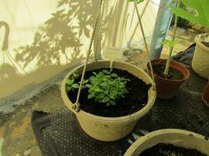 Foto Blog Puerto Rico: Plantas de Guayaba y Cherry Tomates