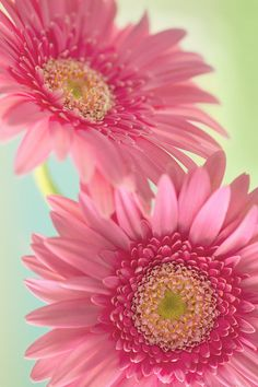 Uploaded by 𝓈𝒶𝓂𝒶𝓃𝓉𝒽𝒶 𝓈𝑒𝓇𝑒𝓃𝒶 ✰. Find images and videos about pink, flowers and gerbera daisies on We Heart It - the app to get lost in what you love. Happy Flowers, Flowers Nature, Pretty Flowers, Pink Flowers, Sunflowers And Daisies, Gerber Daisies, Pink Gerbera, Pink Daisy, Amazing Flowers