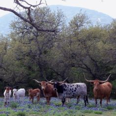My dream of what a ranch should look like.......Longhorn cattle in the Texas Hill Country