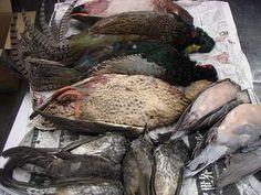 長野県のキング オブ ジビエからまたまた、たくさんの ジビエを分けていただきました。 今回は野鴨、青首鴨、キジ鳩、ヒヨドリ、キジ(これは飼育物...