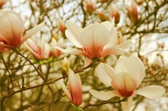 Peach Pink Spring Magnolia Tree Flower   8x10 by 8daysOfTreasures, $25.00